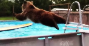 Bear has found the pool
