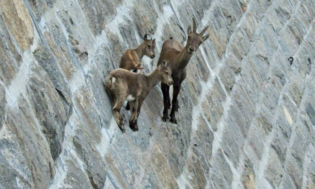 22 crazy photos showing that mountain goats are ridiculously brave
