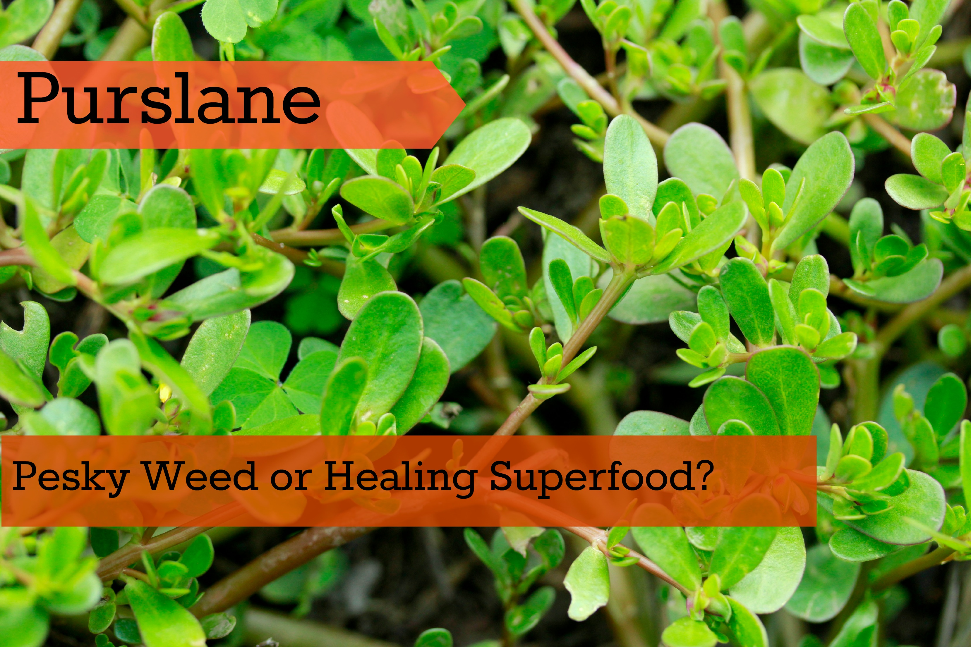Check The Most Unrecognized Health-Boosting Plant! Nature Treasure So Close To You!
