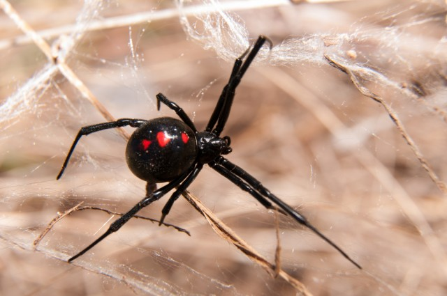 Spiders Identified By DNA Extracted From Their Web