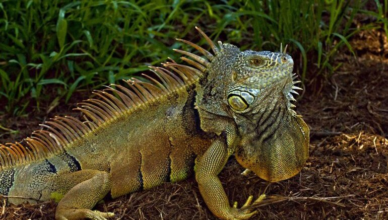 Deep-Fried Popcorn Iguana Could End Puerto