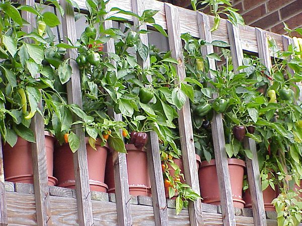 Easy container vegetables for balcony rooftop garden container vegetable gardening fabweb - Veggies that grow on balcony ...