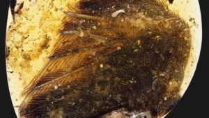 dinosaur-wings-amber-99-million-years_1-770x437[1]