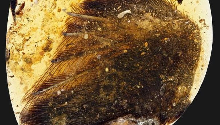 Dinosaur bird wings with feather found preserved in amber – and they are 99 million years old!