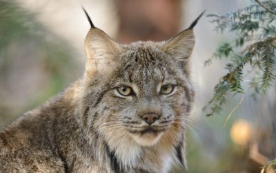 If You Think the Lynx is Safely on the Endangered Species List, Think Again