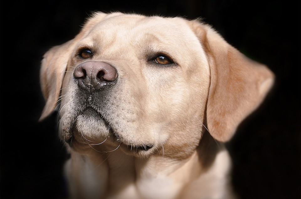 Labrador Retrievers are Still #1, But they Have Some Pretty Surprising Competition
