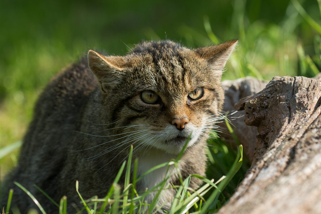 The Clashindarroch Beast, once thought extinct, this cat is simply breathtaking.