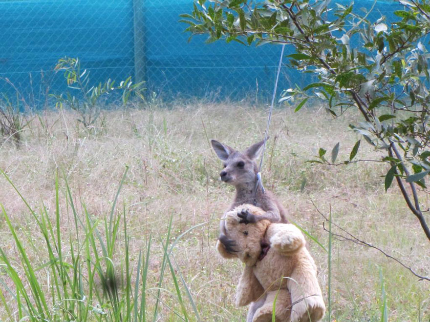 Orphaned Baby Kangaroo Just Wants To Hug His Teddy Bear