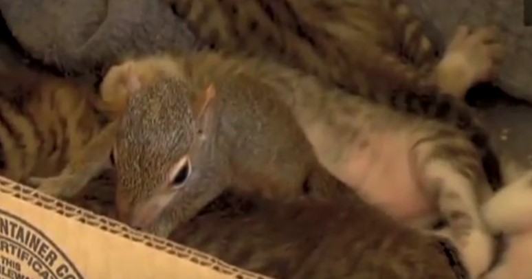 Mother-cat took care of baby squirrel and teaches it to purr! So touching!