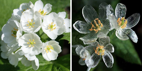 Amazing white skeleton flower turns completely transparent in the rain mightylinksfo