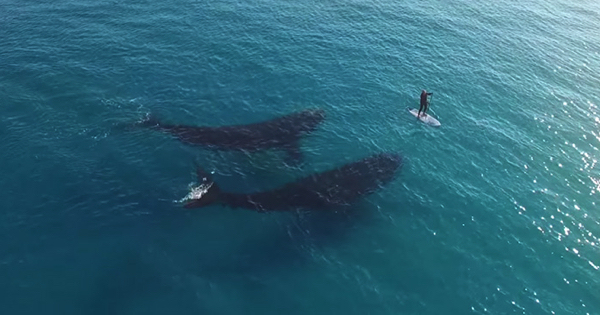 Incredible Drone Footage Captures Meeting Between Giant Whales And Tiny Human