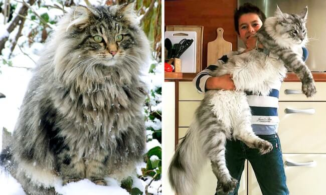 16 cats so enormous they make all others look like kittens