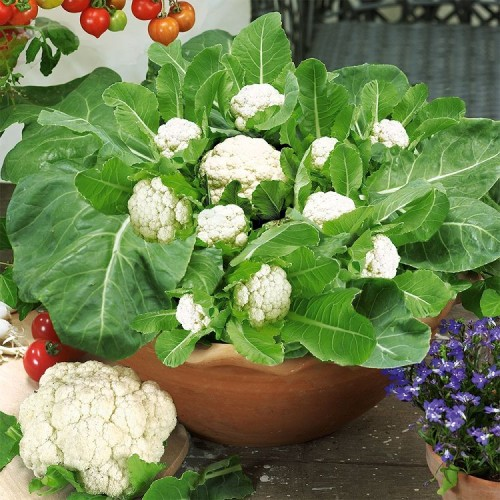 Growing Cauliflower in Containers | Care & How to Grow Cauliflower in Containers