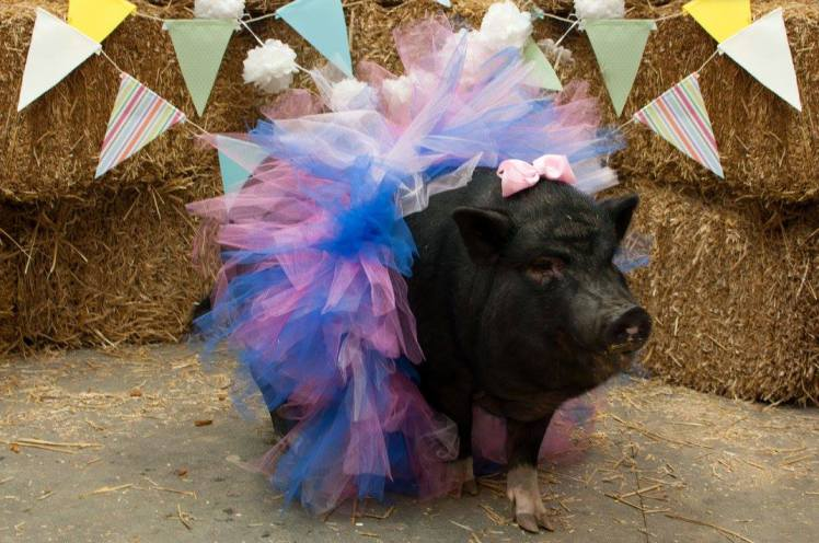 A Pregnant Pig Did A Maternity Photoshoot and Absolutely Nailed It