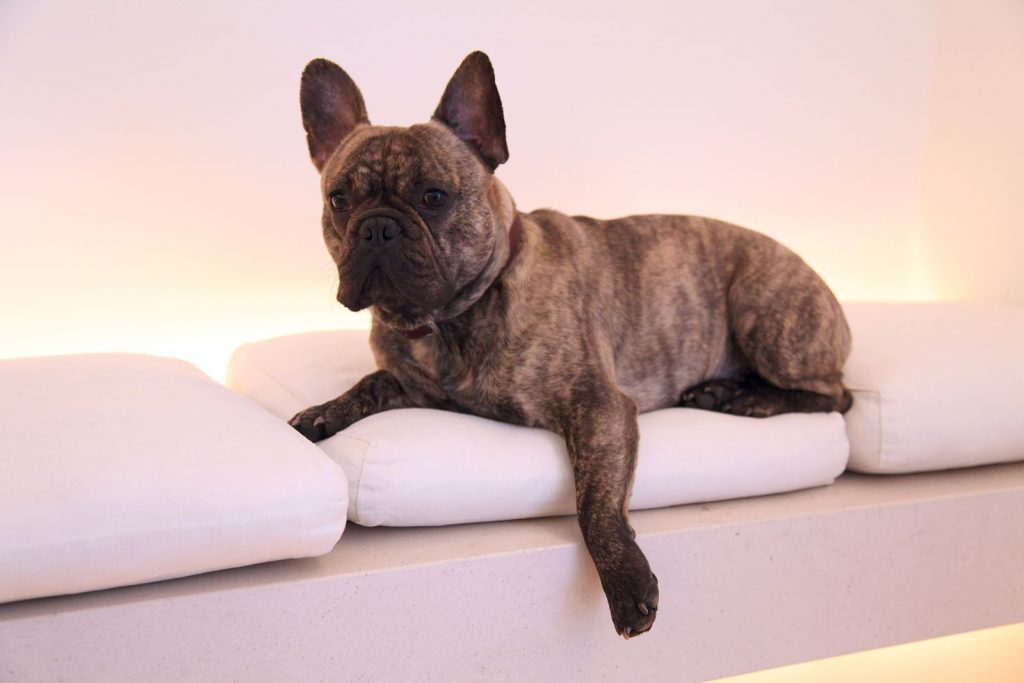 Image of French Bulldog couch potato courtesy of Wikimedia Commons