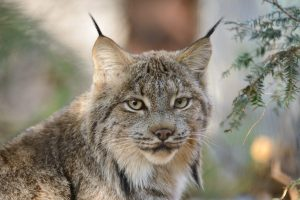 According to the U.S. Fish and Wildlife Service, the Canada Lynx is no longer under threat of extinction in the lower forty eight. Canada lynx pictured in spring