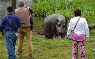 Errant Hippo Found in Mexico: No One Knows Where He Came From